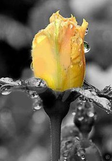 11d515ee63501606fe9066687a7c60fe--yellow-roses-dew-drops