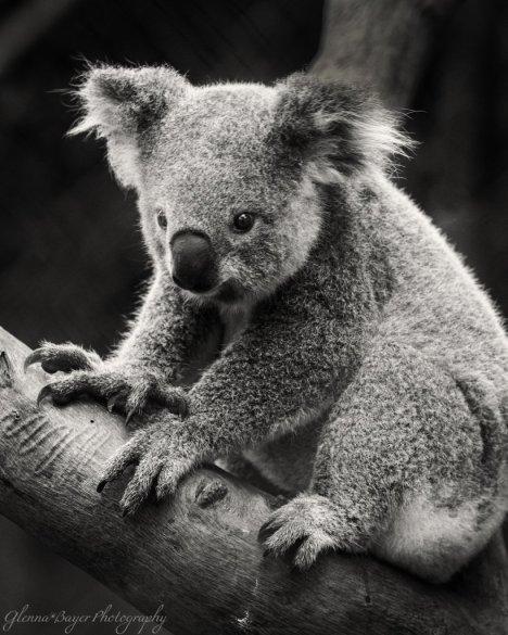 286-Koala_in_Australia_2_819x