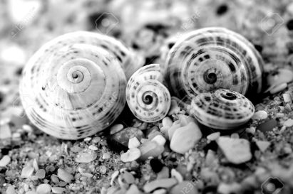 6544116-black-white-photo-of-four-sea-shells-