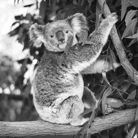 8175155_stock-photo-koala-in-a-eucalyptus-tree-black-and-white