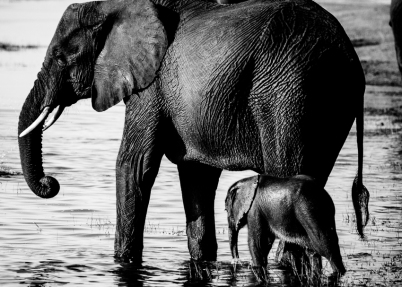 Mother and baby elephant. Chobe National Park, Botswana.