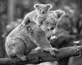 Koala Phascolarctos cinereus Eight-month-old baby on mother's back Queensland, Australia *Captive