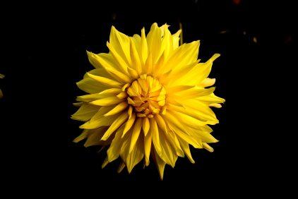 background-hitam-bagus-bunga-bunga-matahari-975545