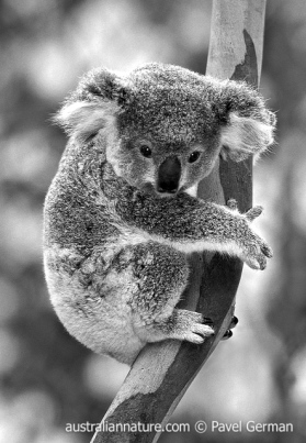 BW10Koala (Happy Birthday)Can you bear another birthday? Have a good one.© Pavel German / Wildlife Images