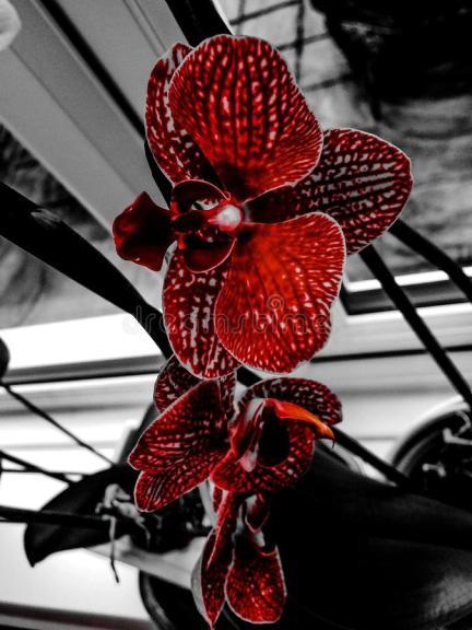 colour-splash-orchid-red-orchid-black-105078994