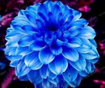 Dahlia-Bulbs-Dahlia-Flowers-Blue-Dahlia-Flower-Rare-_1