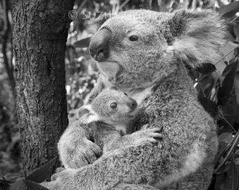 Koala Phascolarctos cinereus Mother and seven-month-old joey Queensland, Australia *Captive *Digitally removed distraction in background