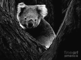 koala-park-bw-tim-richards