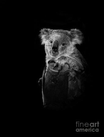 koala-portrait-robert-bales