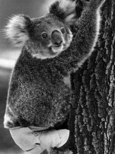 lally-the-koala-with-a-broken-leg-which-she-receive-during-trying-to-escape-a-bush-fire_u-l-pxs85o0