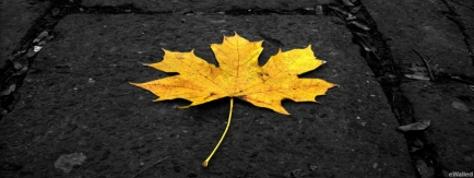maple-leaf-fb-cover
