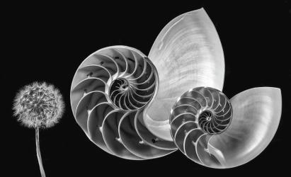 nautilus-shells-and-dandelion-in-black-and-white-garry-gay