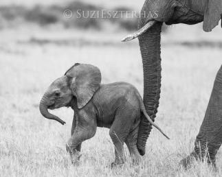 African Elephant Loxodonta africana Young calf (less than 3 weeks old) Masai Mara Conservancy, Kenya