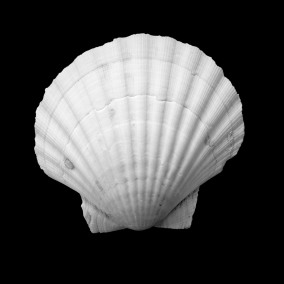 White scallop shell against a black background