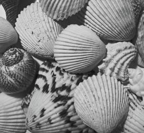 shells-in-black-and-white-mary-bedy