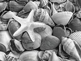 starfish-with-shells-and-pebbles-mono-gill-billington