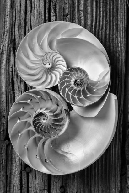 three-chambered-nautilus-in-black-and-white-garry-gay
