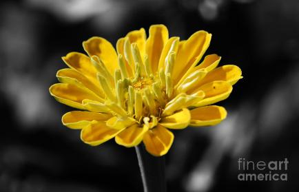 zinnia-yellow-flower-floral-decor-macro-color-splash-black-and-white-digital-art-shawn-obrien