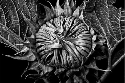 20150428185802-Barry_Guthertz_2014_Our_Sunflower_