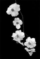 Black and white dogwood flowers