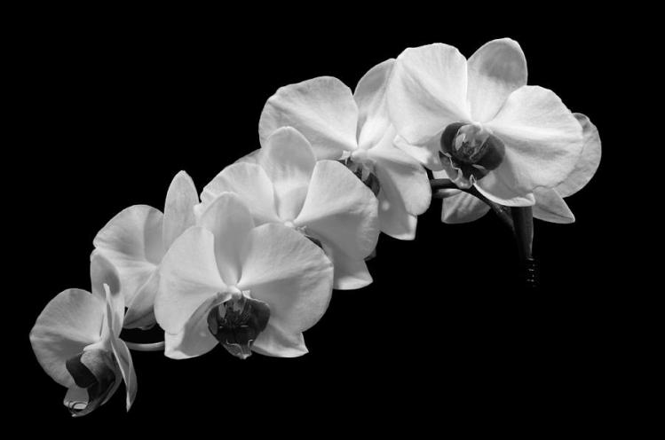 black-and-white-orchid-ben-carpenter