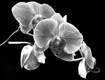 black-and-white-orchid-larry-federman