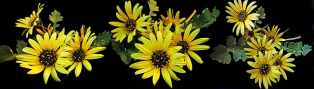 daisies-cape-weed-spring-garden-banner-nature