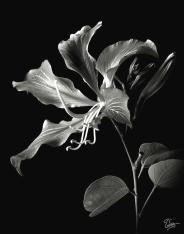 hong-kong-orchid-in-black-and-white-endre-balogh