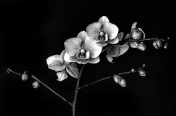 Orchid1_8bit_BW