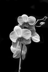 orchids-black-and-white-michael-peychich