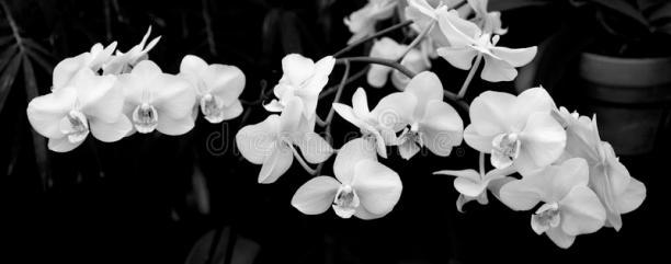 orquídeas-en-blanco-y-negro-85975272