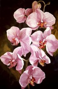 pink-phalaenopis-orchids-alfred-ng