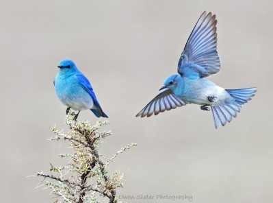 bluebird-flight-and-perched-wm1