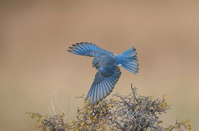 bluebird-flight-kelly-walkotten