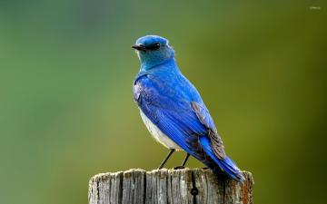 mountain-bluebird-6600-1920x1200