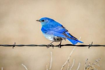 Mountain-Bluebird_John-Williams