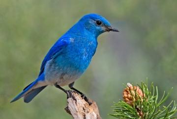 Mountain Bluebird, Cabin Lake Viewing Blinds, Deschutes National Forest, Near Fort Rock, Oregon